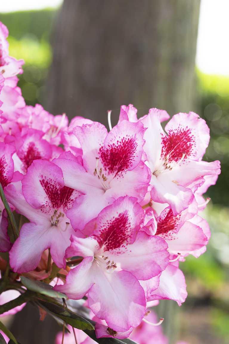 Rhododendron Schädlinge Bekämpfen Gegen Krankheiten Zikaden